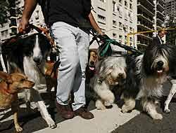 paseadores de perros - una escena cotidiana para los porteños y turistas en Buenos Aires